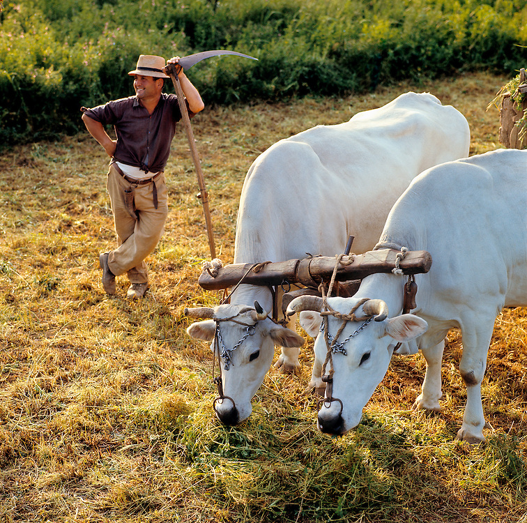 A farmer and his oxen take a rest break from their work near Orvieto, Umbria, Italy.