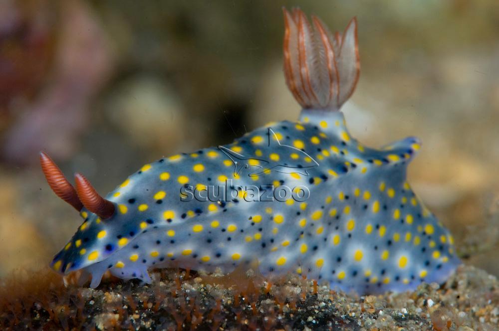 Nudibranch, Hypselodoris infucata, Anilao, Solo, Anilao Mabini, Batangas, Philippines