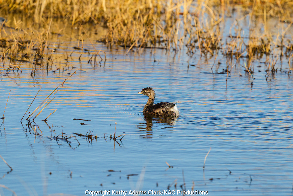 Pied-billed grebe, Podilymbus podiceps, feeding on a small fish, Anahuac National Wildlife Refuge, Texas, upper Texas coast, autumn
