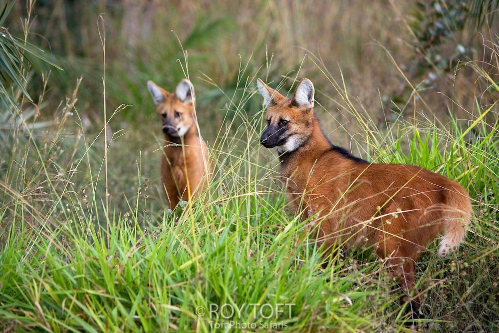 Two Maned Wolf (Chrysocyon brachyurus) standing in the tall grass, Piaui, Brazil