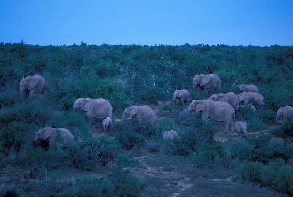 South Africa, Addo Elephant National Park, Elephant herd (Loxodonta africana) walks through acacia forest at dusk