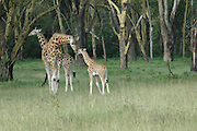 Kenya, Lake Nakuru National Park, three Rothschild Giraffe, Giraffa camelopardalis rothschildi, February 2007