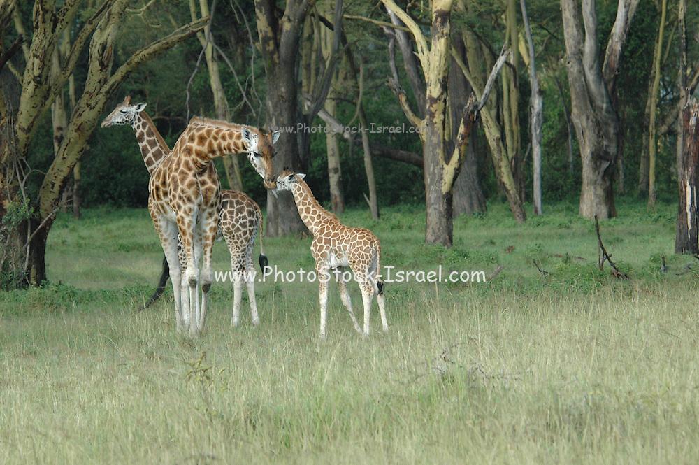 Kenya, Lake Nakuru National Park, three Rothschild Giraffe, Giraffa camelopardalis rothschildi, February 2007