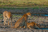 Cheetahs bending down to drink water, near Kwara Camp, Okavango Delta, Botswana. They are extremely apprehensive when near water because of the danger of being attacked by crocodiles.