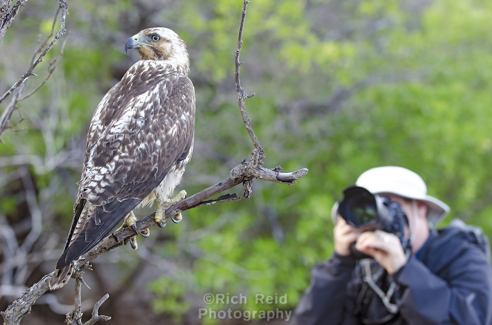 Photographing an endemic Galapagos hawk, Buteo galapagoensis at Playa Espumilla on Santiago Island in the Galapagos Islands National Park and Marine Reserve, Ecuador.