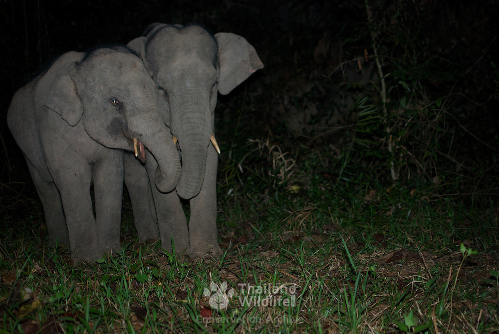 Wild juvenile Asian Elephants, Elephas maximus. Pang Sida National Park, Thailand.