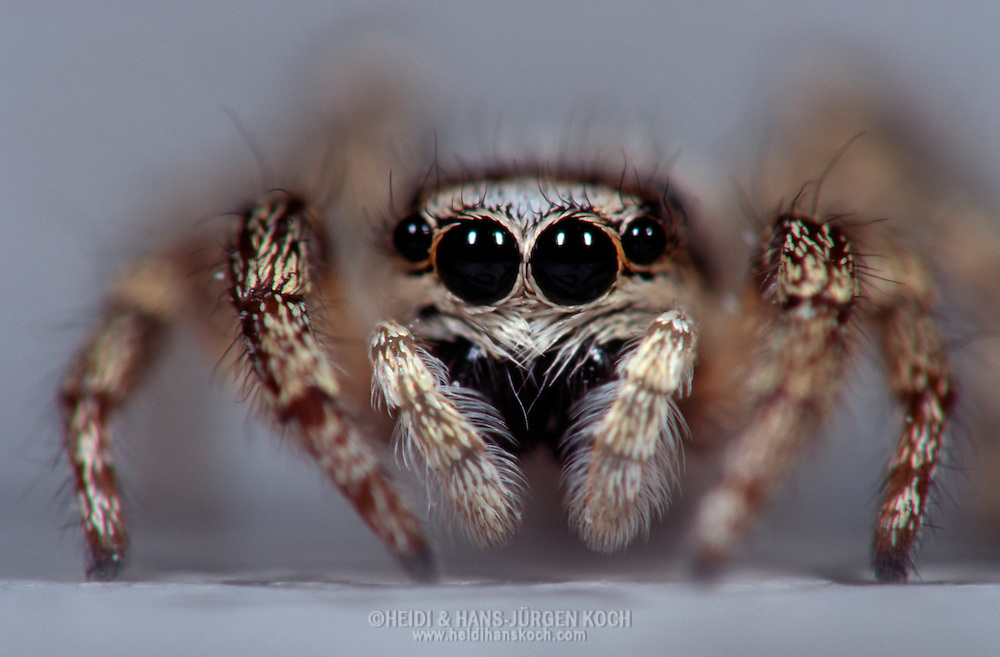 Deu, Deutschland: Spinnen, Zebra-Springspinne (Salticus scenicus) mit großen Augen, kleine einheimische Spinne von 5-7mm Grösse, Cuxhaven, Niedersachsen | DEU, Germany: Spiders, Zebra spider (Salticus scenicus) with big eyes, local spider is just 5-7 mm long, Cuxhaven, Lower Saxony |