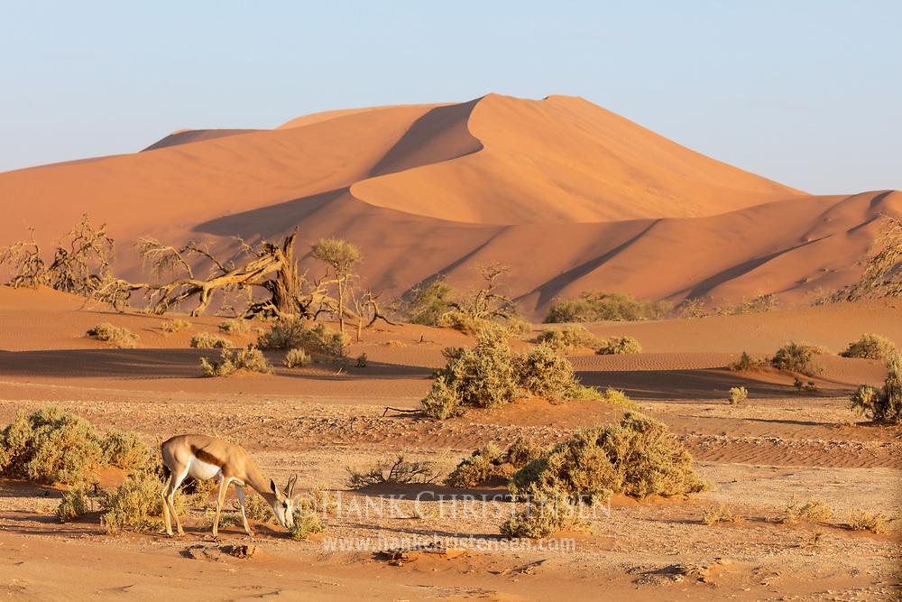 A springbok grazes on desert scrub in front of a giant sand dune, Namib-Naukluft National Park, Namibia.