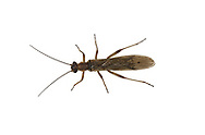 Nemoura cinerea - a stonefly