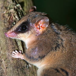 """Catita (Gracilinanus microtarsus) fotografado em Santa Maria de Jetibá, Espírito Santo -  Sudeste do Brasil. Bioma Mata Atlântica. Registro feito em 2016.<br /> <br /> <br /> <br /> ENGLISH: Brazilian gracile opossum photographed  in Santa Maria de Jetibá, Espírito Santo - Southeast of Brazil. Atlantic Forest Biome. Picture made in 2016."""