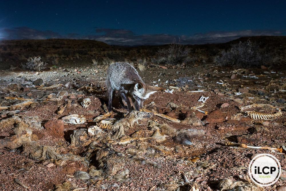 L&rsquo;otocyon (Otocyon megalotis) est un petit renard principalement nocturne se nourrissant d&rsquo;insectes et de rongeurs. Ici, il cherche les insectes d&eacute;composeurs pr&eacute;sents dans les carcasses de chacals tu&eacute;s par les &eacute;leveurs lors d&rsquo;op&eacute;ration de contr&ocirc;le des pr&eacute;dateurs et entass&eacute; dans un coin de la ferme. <br /> Western Cape, Karoo, South Africa, Antjieskraal farm, Bat-eared Fox (Otocyon megalotis). Here it seeks decomposers insects present in the jackals carcasses killed by farmers during predator control operation and piled in the back of the farm. (Canis mesomelas) Camera trap
