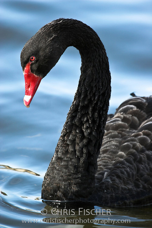 Black Swan, Adelaide, Australia