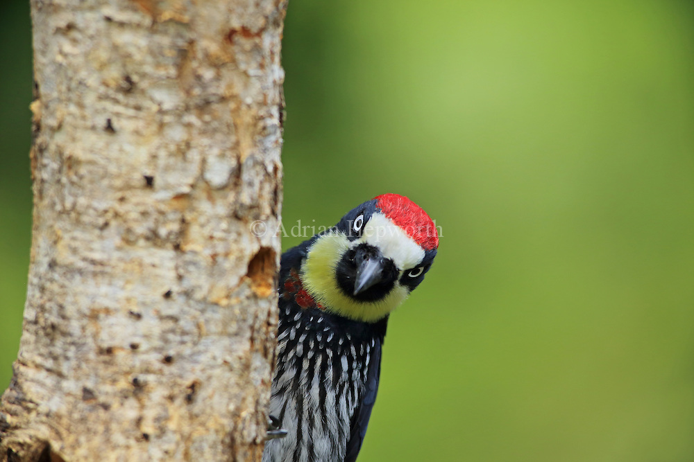 Acorn woodpecker (Melanerpes formicivorus) in cloud forest, San Gerardo de Dota, Cerro de la Muerte, Costa Rica.