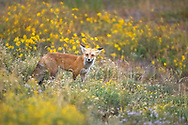 Red foxes are stealthy hunters, using their large ears and exceptional hearing to locate prey animals underground and in the tall grass. This fox spent the morning successfully hunting for her breakfast in this flower-filled meadow.