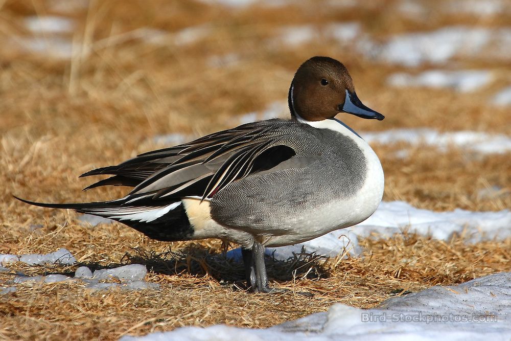 Northern Pintail, Anas acuta, Japan, by Glen Valentine