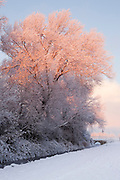 Sun catching the top of a tree next to Wembdon Rhyne after heavy overnight snow.