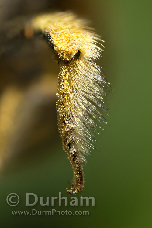 Detail of a native bee leg photographed in western Oregon.