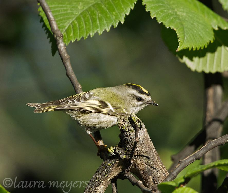 Golden-crowned Kinglet on branch