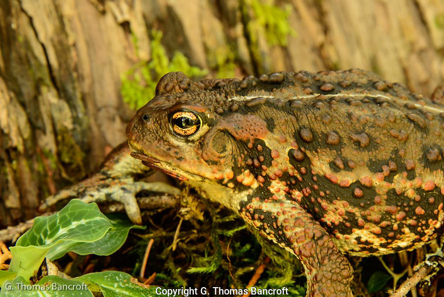 A portrait of a western toad attempting ot hide along a tree trunk.