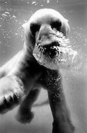 Deutschland, DEU, Wuppertal, 2000: Ein Eisbaer (Ursus maritimus) taucht, Luftblasen steigen auf, Zoo Wuppertal.   Germany, DEU, Wuppertal, 2000: Polar bear, Ursus maritimus, diving, breething out air-bubbles under water, Zoo Wuppertal.  