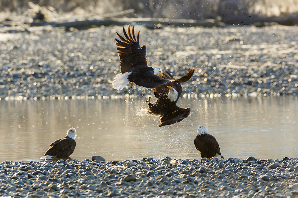 Bald Eagles (Haliaeetus leucocephalus) clash in mid air with talons exposed vying for a salmon carcass in the Chilkat Bald Eagle Preserve near Haines in Southeast Alaska. Winter. Morning.