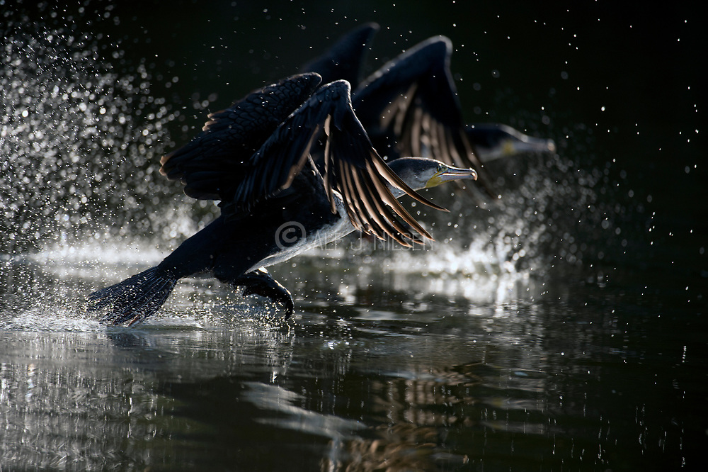 Large cormorants escaping at Lake Naivasha, Kenya.
