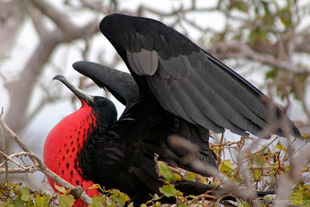 South America, Ecuador, Galapagos, North Seymour Island. Magnificent Frigate Bird.