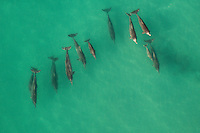 Aerial view of a pod of Humpback Dolphins, De Hoop Marine Protected Area, Western Cape, South Africa