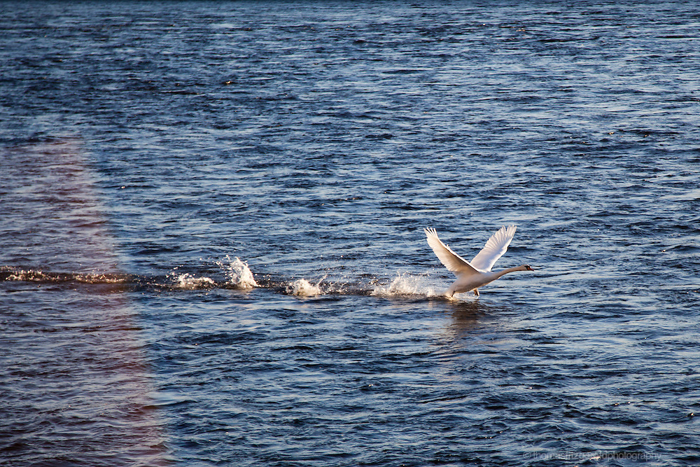 A large white swan flaps its wings as it skips across the rich blue waters of the sea as it gets up speed to take off. The beautiful white feathers of the birds wings reflect the sunshine and contrast with the deep blue waters of the sea as the swan tries to take off fromt he choppy water