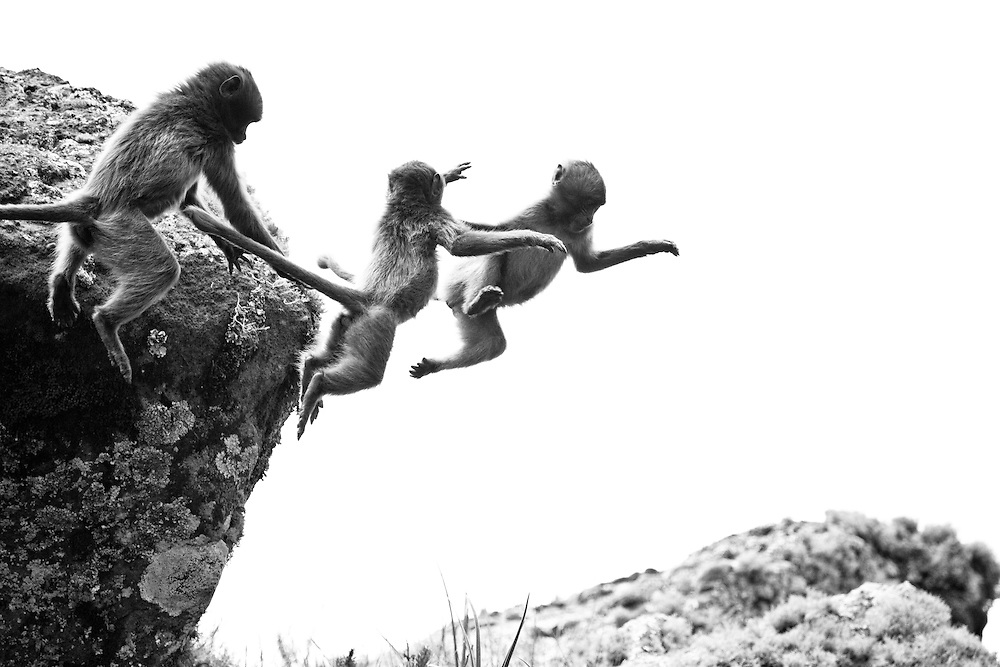 Young geladas jumping from a rock on the Guassa Plateau of Ethiopia