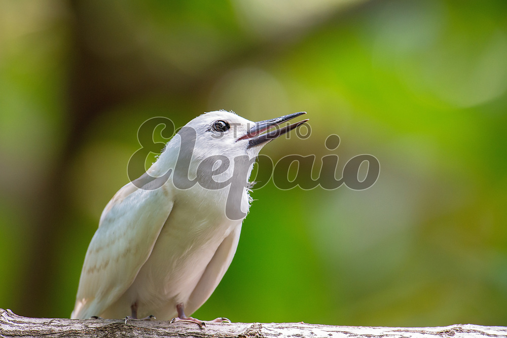 Juvenile white tern. The white tern (Gygis alba), or manu-o-Ku in Hawaiian, is the official bird of Honolulu. Photographed in Honolulu, Hawaii.