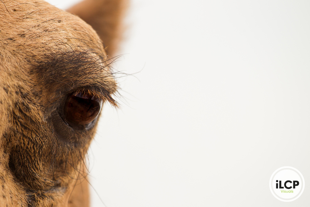 Dromedary (Camelus dromedarius) camel with long eye lashes, Dhofar Mountains, Oman