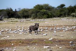 NAMIBIA ETOSHA 1MAY14 - A family of southern warthogs enjoys their time at a waterhole near Namutoni, Etosha National Park, Namibia.<br /> <br /> <br /> <br /> jre/Photo by Jiri Rezac<br /> <br /> <br /> <br /> © Jiri Rezac 2014