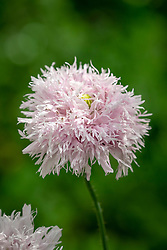 Papaver somniferum 'Lilac Pompom'