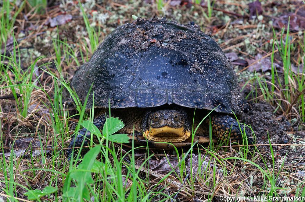Blanding's turtle (Emys blandingii or Emydoidea blandingii) <br />Killarney Provincial Park<br />Ontario<br />Canada