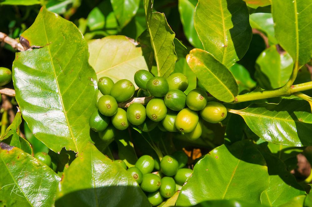 Green coffee cherries on the vine at the Kauai Coffee Company, Island of Kauai, Hawaii