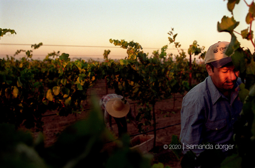 Workers harvest chardonnay grapes in the Carneros region of Napa, California.
