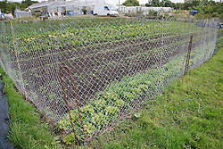 Trinity Organic Farm, Nottinghamshire - vegetable patch with rabbit-proof fence
