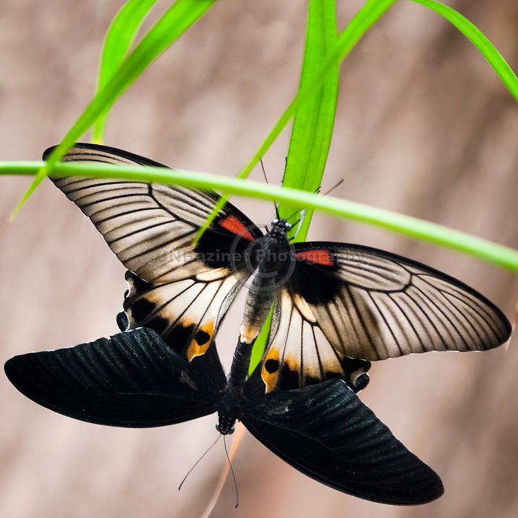 Matting swallowtail butterflies