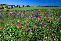 Field of lupins near North Granville, Prince Edward Island, Canada