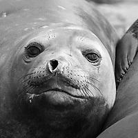 Mirounga leonina, Carcass Island, Falkland, Feb 2019