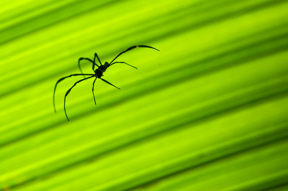 Silhouette of an orb spider (Nephila sp.) against a green palm leaf