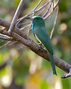Blue-bearded bee-eater (Nyctyornis athertoni) from Kanha National Park, India.