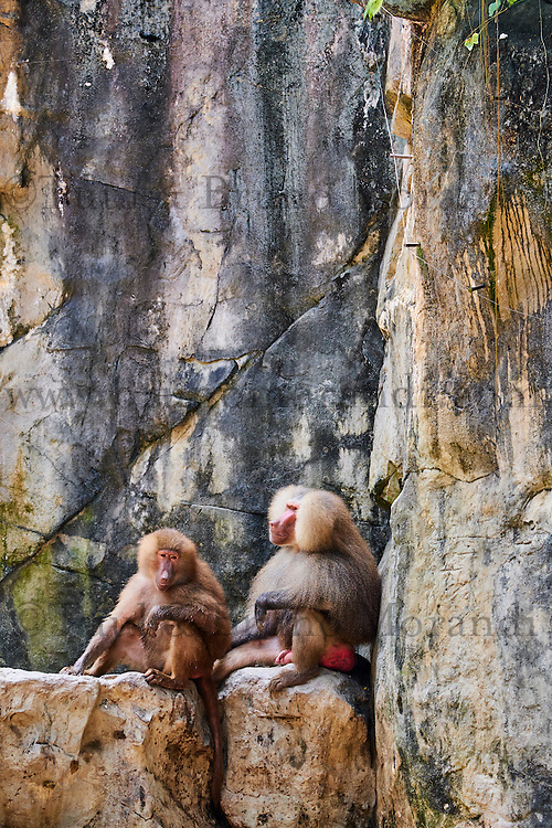 Singapour, Singapore Zoological Gardens, Mandai Zoo, babouin// Singapore, Singapore Zoological Gardens, Mandai Zoo, baboon
