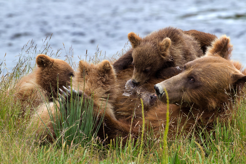 An Alaskan Brown Bear sow feeds her three first season cubs in Lake Clark National Park Alaska.