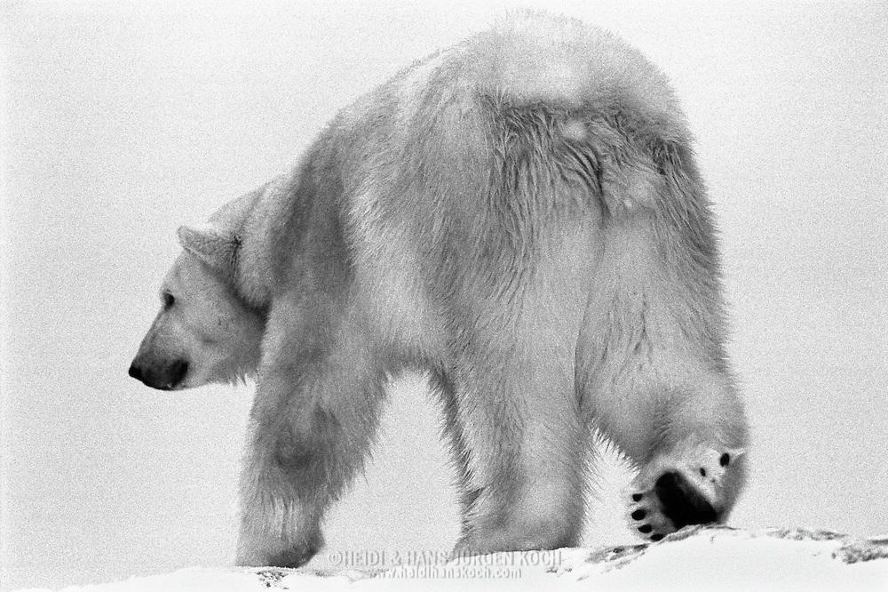 Schweden, SWE, Kolmarden, 2000: Ein Eisbaer (Ursus maritimus) auf einem schneebedeckten Huegel, Kolmardens Djurpark. | Sweden, SWE, Kolmarden, 2000: Polar bear, Ursus maritimus, walking away on top of a snow covered hill, Kolmardens Djurpark. |