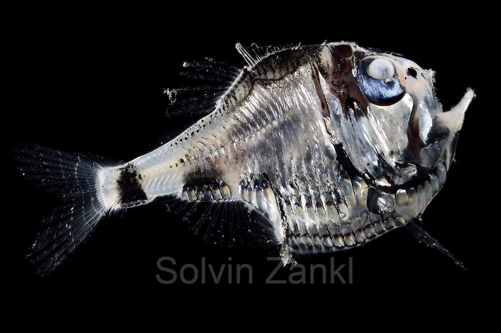 [captive] Deep Sea fish