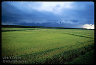 Stormy sky boils over ripe field of rice planted with no-till farming method; Pelotas, RS. Brazil