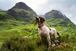 Glen Coe, Scotland, UK. 4 July, 2020. Tourists travel to Glen Coe on first weekend after 5 mile travel restriction was lifted by the Scottish Government. Springer spaniel dog with mouth full of heather with Glen Coe mountains to rear. Iain Masterton/Alamy Live News