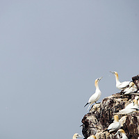 Gannets nesting on  Bass Rock in the River Forth. Scotland, UK..Picture Michael Hughes/Maverick ..THE GANNET is Britain's largest seabird with a wing span of just under two meters. From January onwards 140,000 Atlantic gannets return to the Bass Rock, the world's largest single rock gannet colony. Returning to the same mate and the same nest every year, they spend most of the year on the Bass, until the end of October, when the last chicks set out on their long journey down to the West Coast of Africa, with the adults returning again in January.....